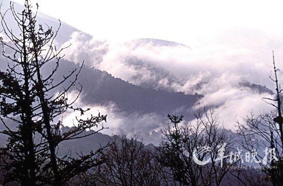 阳春三月,在云雾萦绕的阿里山上,正是采茶的好季节。(东方IC)