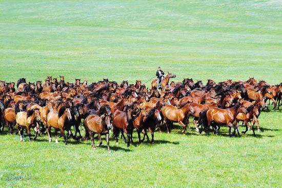 呼伦贝尔草原从5月中旬就已经发绿,在一望无际的大草原,牛羊成群,在这能体验最纯粹的草原风情。(黎伟 摄)