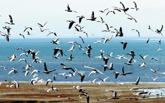 六月份的青海湖呈现出万鸟翔集的壮观景象。(新华社记者 侯德强摄)