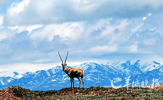 国家保护动物藏羚羊