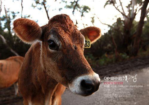 大洋路上的萌牛
