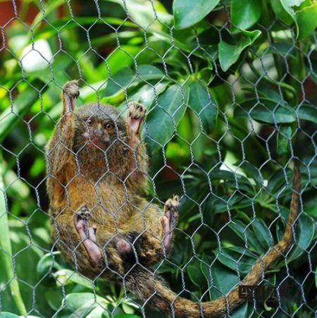 南美奇幻动物世界 亚马逊最小侏儒绒猴