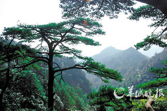 壁纸 风景 树 松 松树 550_365