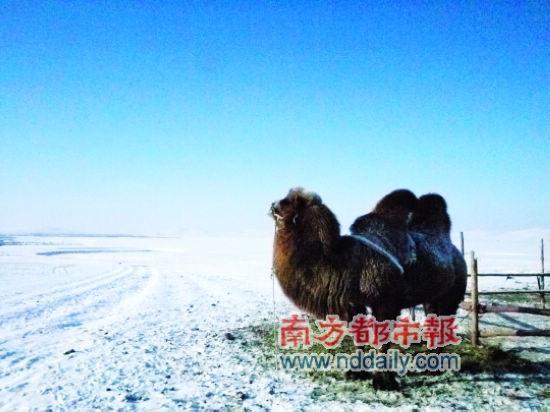 """一只""""高傲""""的骆驼。我在它面前顶着寒风等了十分钟,任我如何骚扰挑逗,就是不肯正眼瞧我一下"""