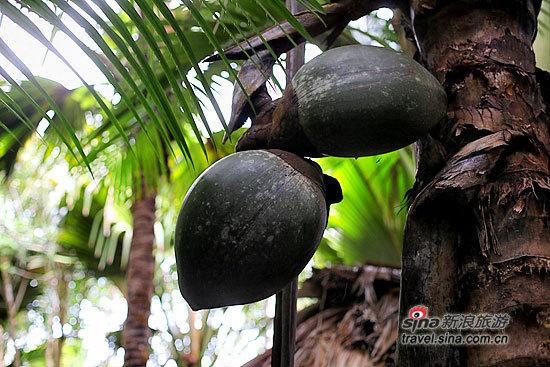 生长着的海椰子