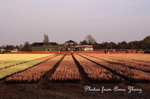 新浪旅游配图:荷兰郁金香 摄影:Ann在荷兰