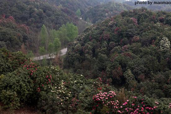 新浪旅游配图:毕节杜鹃森林公园 摄影:maomao