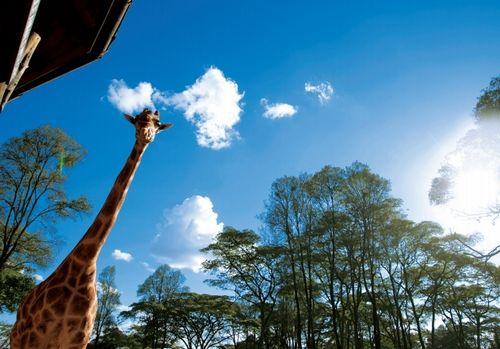 温文尔雅的长颈鹿