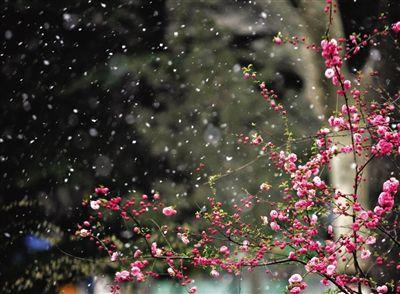石家庄,纷纷飘落的瑞雪打在盛开的海棠花上,构成一幅独特的美景。 图 东方IC