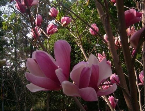 姿态优雅的紫玉兰 大明星王菲的最爱 图片:张蒲思恩