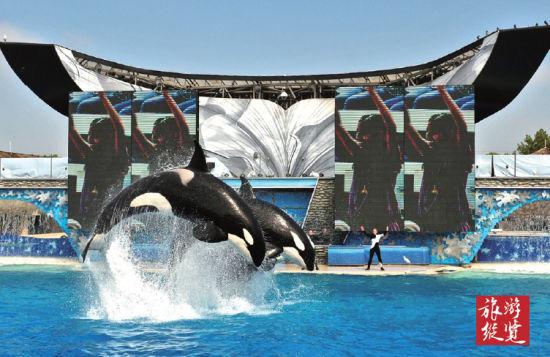 杀人鲸在饲养员的指挥下跃出水面