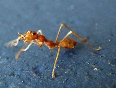 被毒蚂蚁叮咬后的处理方法