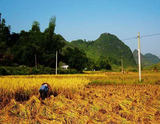 收割的农人 图片来源:烟草田 新浪博客