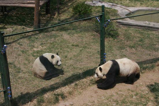 原山大熊猫