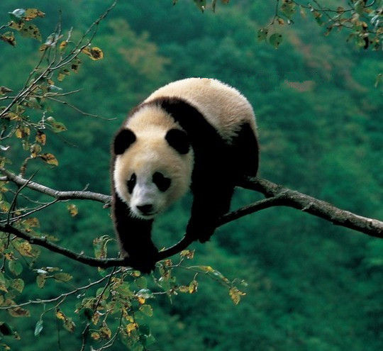 卧龙自然保护区 适合发烧友的熊猫观赏地