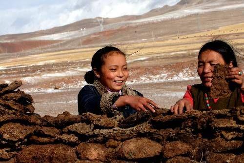藏民在收集牛粪