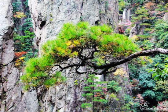 黄山的松树