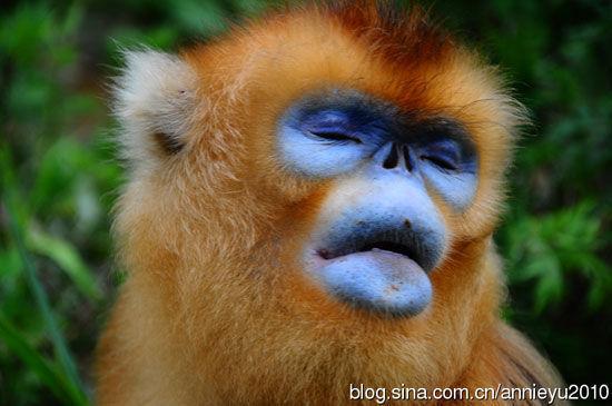 神农架的金丝猴超级享受