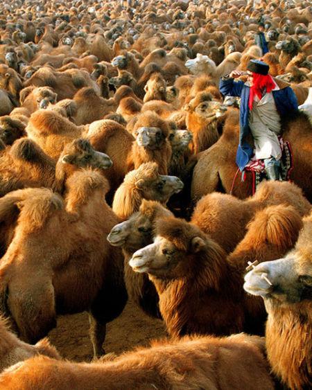 当年晋商走西口出塞贩运茶叶的驼队比这个场面更壮观,光是在归化城(今呼和浩特市)高峰时的骆驼高达16万峰之多(哈斯巴根摄)