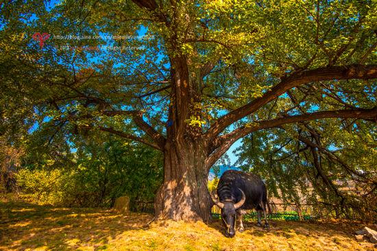 银杏树下的一头老牛