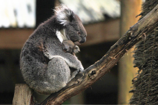 去澳洲动物园和考拉行贴面礼(2)