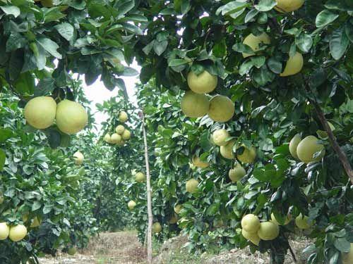 永嘉早香柚