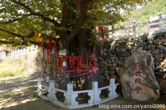 """古银杏为雌树滋生三代细树,称为""""四世同堂"""""""