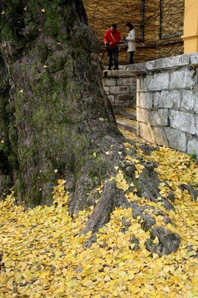 六百年老银杏
