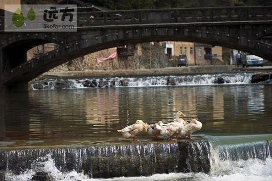 小河流水中驻足的鸭子 作者:风如水