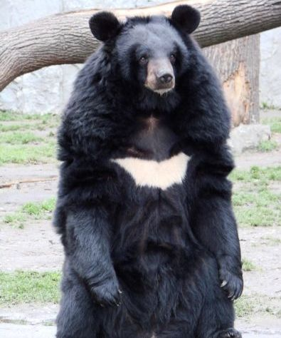 黑熊穿西装手绘