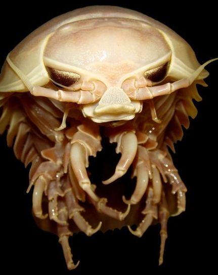 一只深海巨型等足类动物
