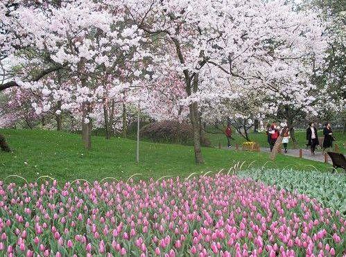 太子湾公园樱花