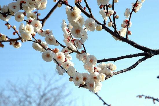 梅花―春寒料峭梅含香