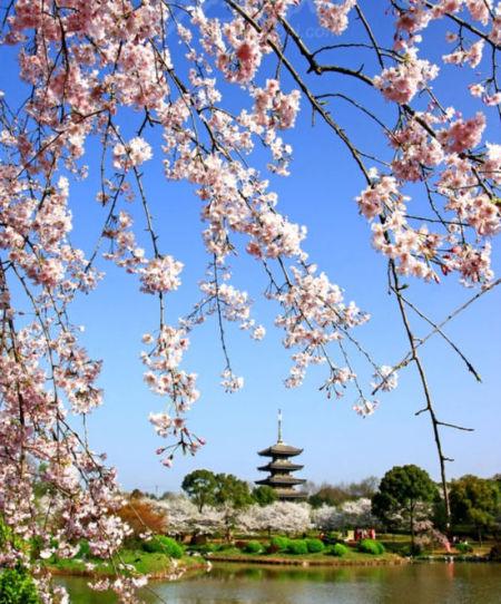 武汉樱花之旅那些被遗忘的非常规赏花地