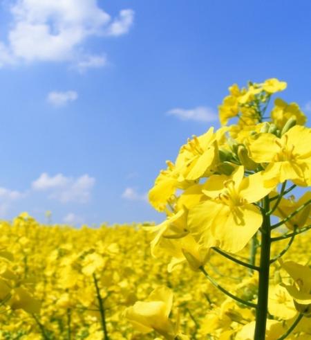 春游看油菜花的简笔画;