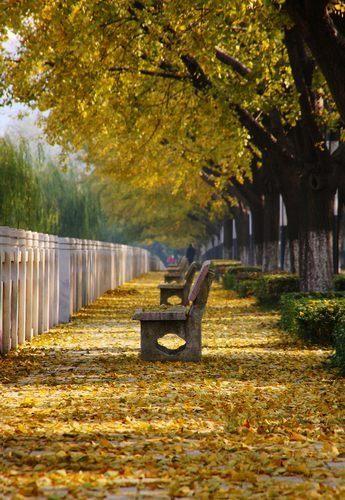 电子科大沙河校区    银杏树下玩浪漫