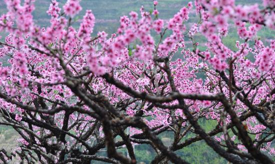 茂县李子花 百花羌红碉楼 拍出独特民族风 桃花、杏花、梨花、樱花、油菜花这个春天,大家已经看过了太多的花花,朋友圈里,撞花现象频繁出现。到哪里去找又美丽又与众不同的花呢? 洁白如雪的李子花主要分布在茂县沿岷江河谷地带乡镇,从茂县的南大门南新镇牟托村,沿国道213线到太平乡和省道209线,到洼底乡河谷地带都有分布。不过,在朋友圈里晒宝的游客,想要拍出大片薰衣草、大片波斯菊的国际范,就一定要去南新镇和凤仪镇。这两个镇的李子花集中成片。 春天里,和三五好友,开着爱车自驾从成都经都江堰,沿岷江一路