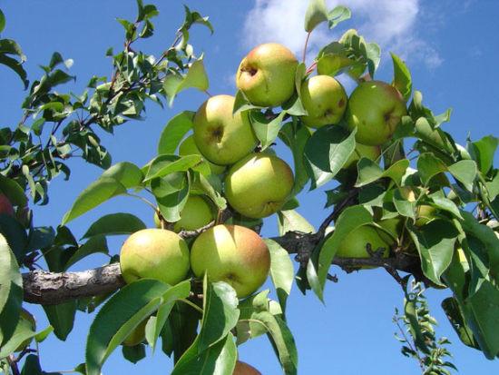 长白山脚下养育的奇特水果
