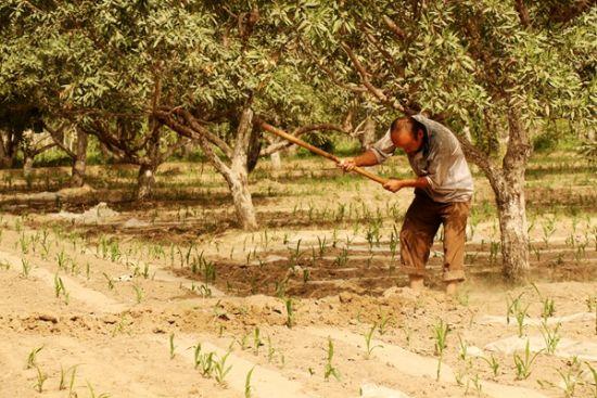1、杏仁果园里农夫正在松土,准备种植多一些庄稼。在莎车县,人多地少,所以杏仁树下,还节约耕地,种植一些庄稼。