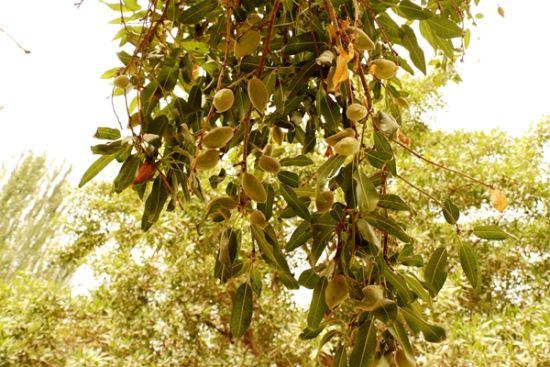 杏仁树上果实累累