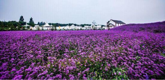 紫缘香草园园景3