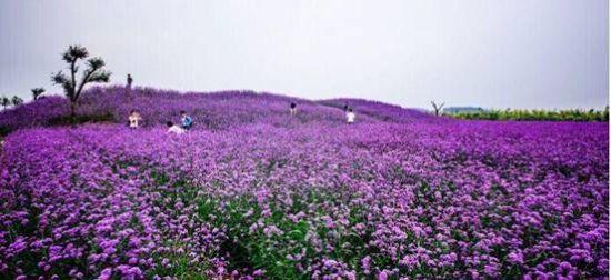 紫缘香草园园景4