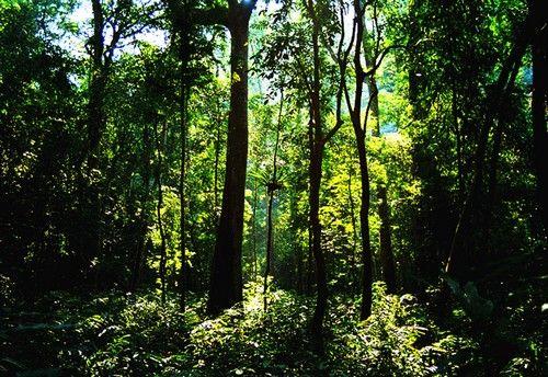 望天树雨林