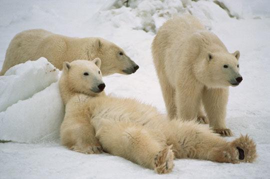 马尼托巴省是加拿大日照时间最长的省份之一,大陆性气候的地理优势是观赏北极熊的绝佳之地。每年10月、11月众多游客都会慕名来到位于马尼托巴省的丘吉尔(Churchill),这里也是全世界北极熊生存聚集密度最高的地区之一,被誉为世界北极熊之都。每逢深秋时节,大批北极熊北上向北极地带迁徙,聚集在哈德逊湾(Hudson Bay)一带,等待海面结冰之后行走在冰面上觅食猎物,这也是最令人叹为观止的生态景观之一。   北极熊作为北极圈的主要生物,一生中多数时间都生活在海里或者浮冰上面,素有北极主人的称号。哈德