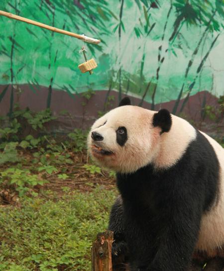 大熊猫吃竹子月饼