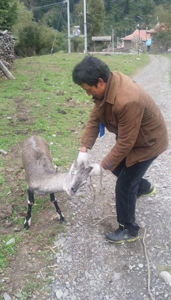 达古冰山救助国家二级保护动物盘羊