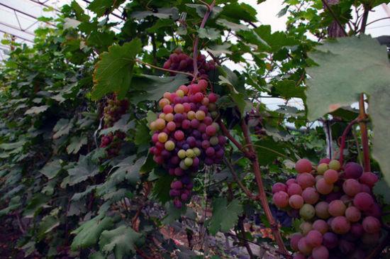 水画葡萄的画法步骤