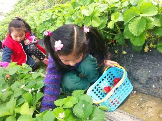 后溪赏油菜花,采草莓