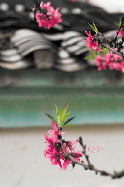岳麓书院  庭院中,几枝桃花在青瓦灰墙的映衬下分外靓丽。