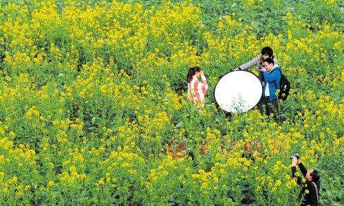 潇湘中路下方的河滩上,几名摄影爱好者在油菜花丛中进行摄影创作。